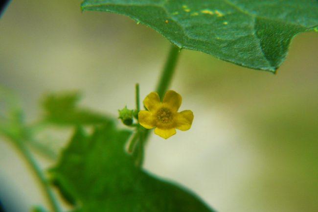 Mexikanische Minigurke - Melothria scabra Blüte