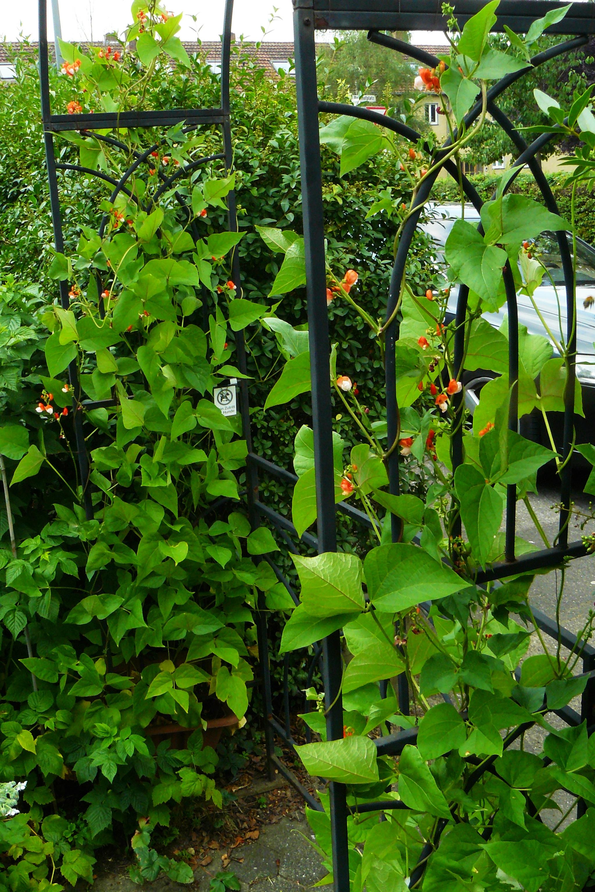 Phaseolus coccineus Feuerbohnen am Rosenbogen