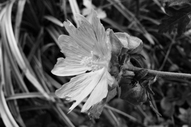 Malvenblüte mit Käfer Schwarz/Weiß
