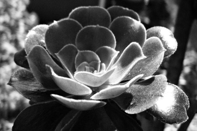 Aeonium Schwarz/Weiß