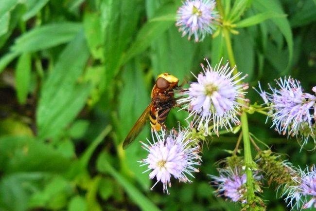 Hornissenschwebfliege-Volucella-zonaria