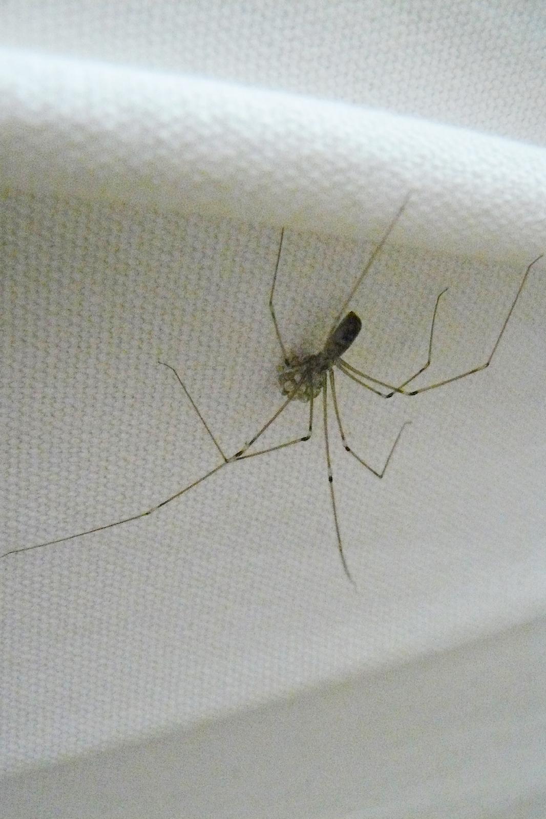 Spinne mit Eipaket