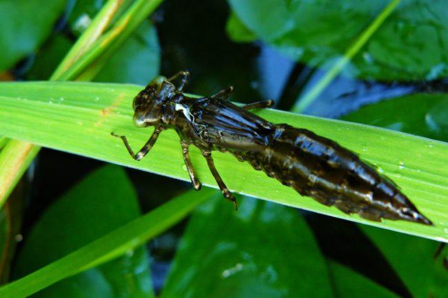 Haut der Libellenlarve am Rohrkolben