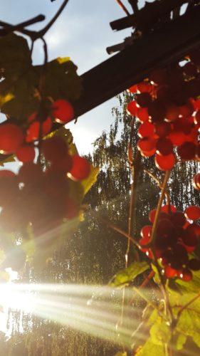 Trauben in der Abendsonne