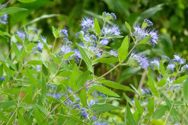 Bartblume 'Heavenly Blue' Caryopteris clandonensis