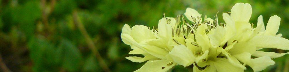 Cephalaria gigantea Großer Schuppenkopf