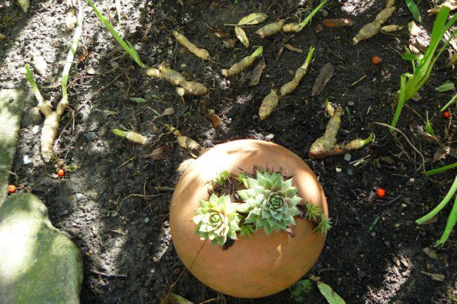 Dekokugel mit Sempervivum bepflanzt