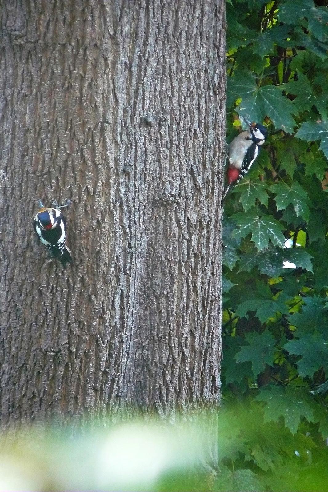 Buntspecht (Picoides major)