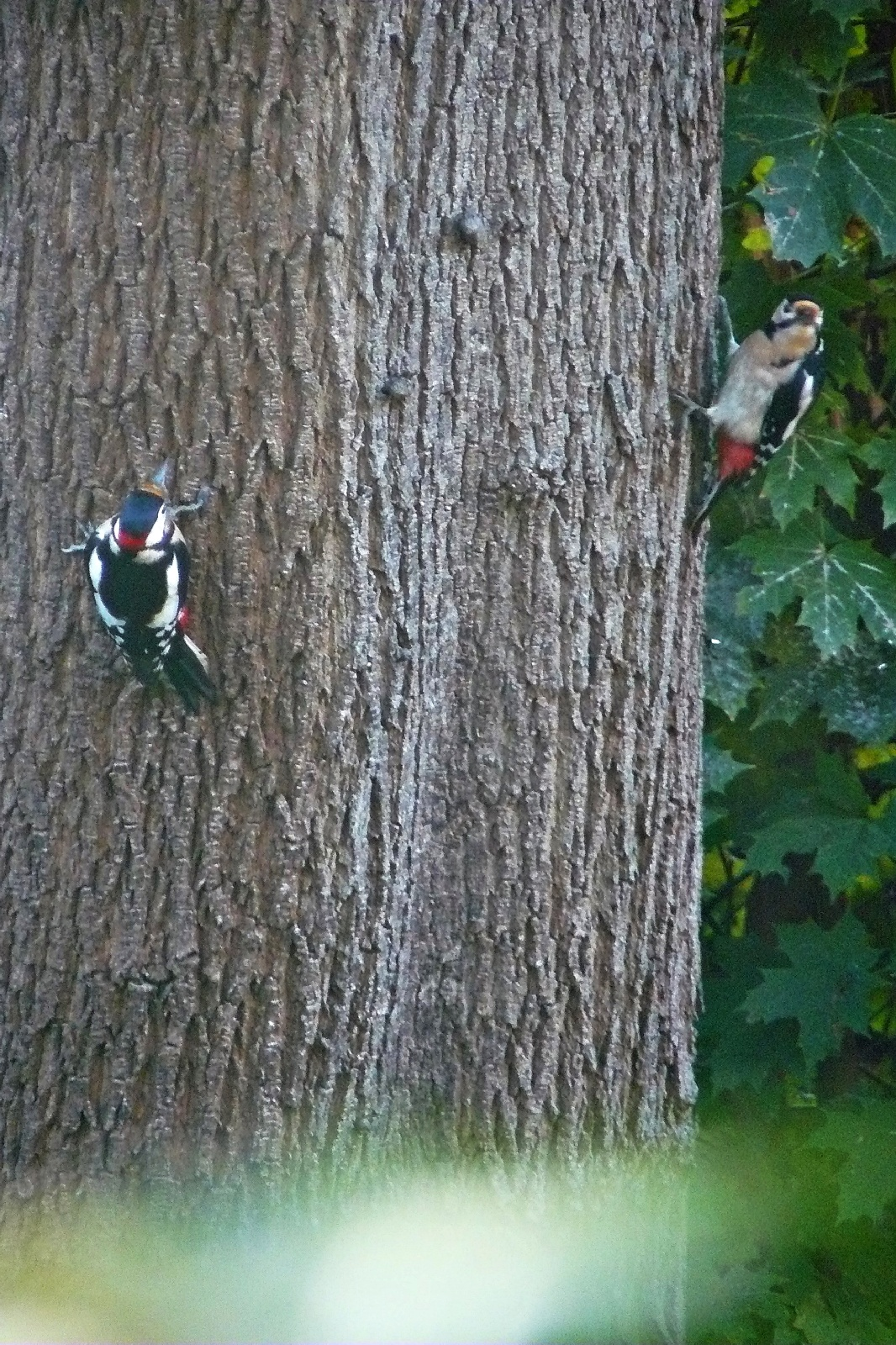 Buntspechtpaar (Picoides major)