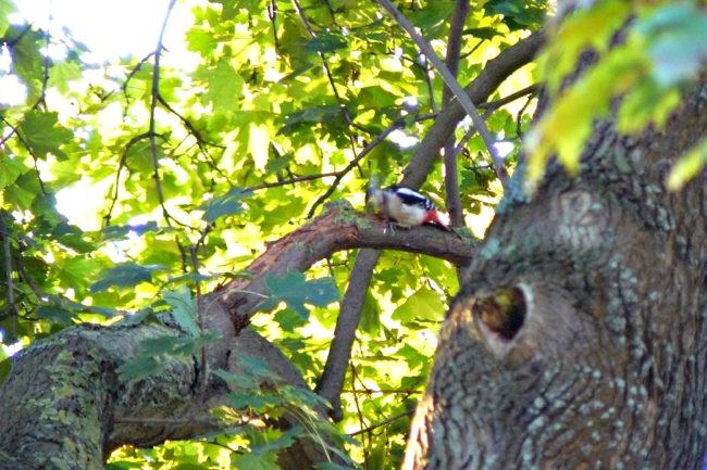 Buntspecht (Picoides major) klopft Totholz ab