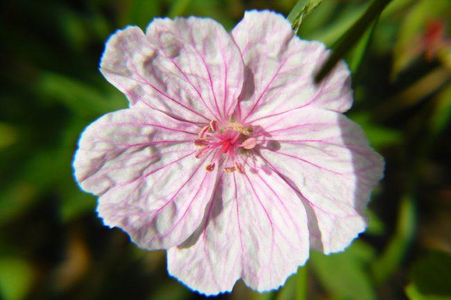Blüte Geranium