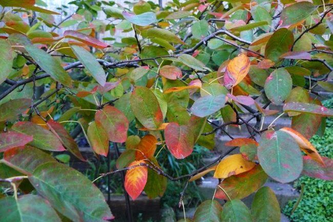 Felsenbirne mit Herbstfärbung