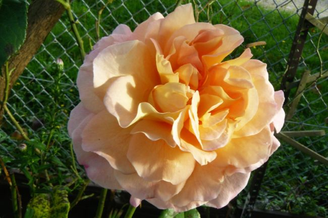 Rose Auguste Luise