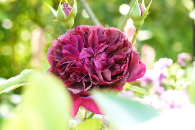 Rose 'William Shakespeare'