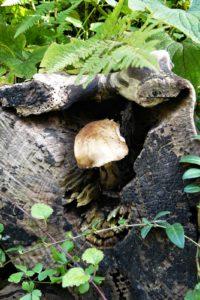 Honiggelber Hallimasch(Armillaria mellea