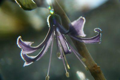 Pelorie am Veilchenstrauch Iochroma Blütenmutation
