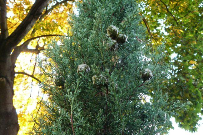 Mittelmeerzypresse Zapfen