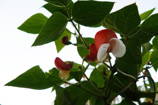 Feuerbohnen Blüten