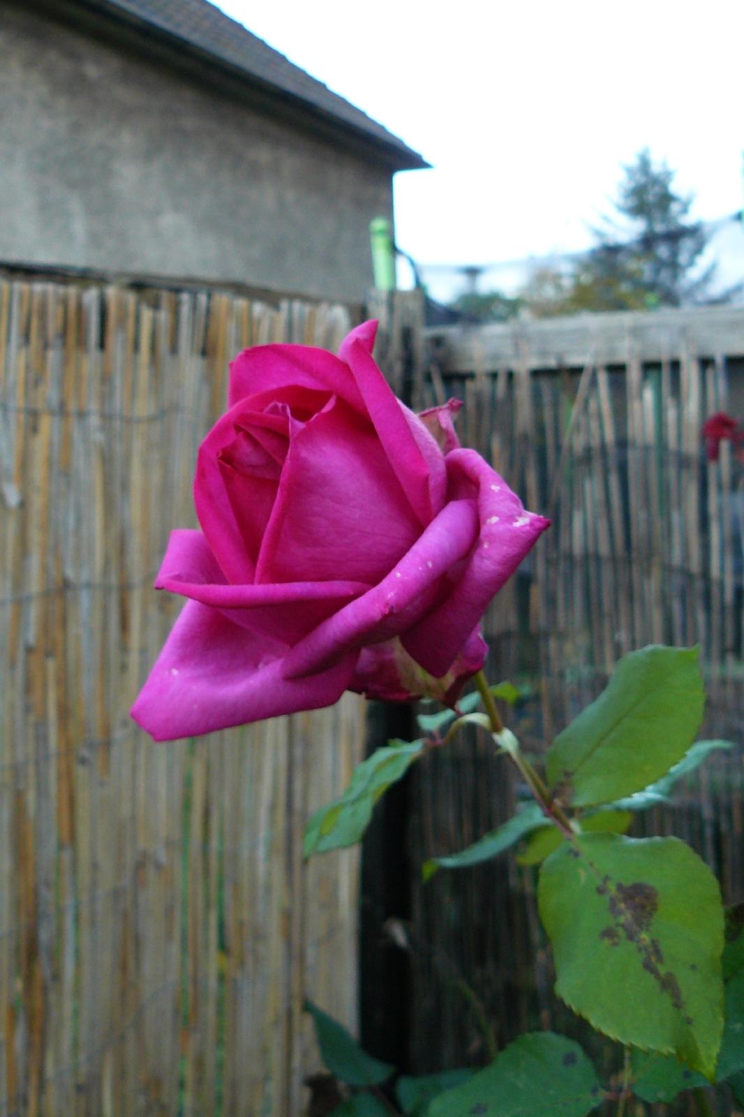 Rose 'Parole'