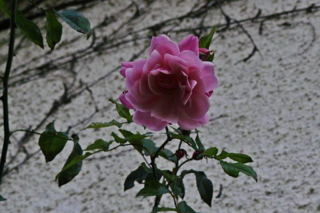 Rose 'Coral Dawn'