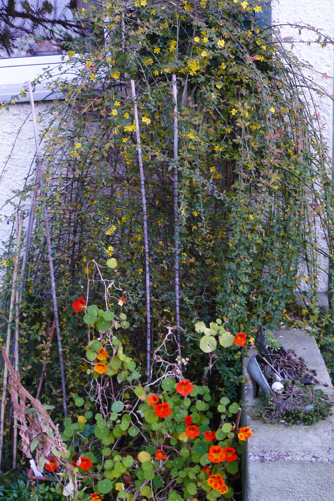Winterjasmin und Kaputzinerkresse blühen gleichzeitig