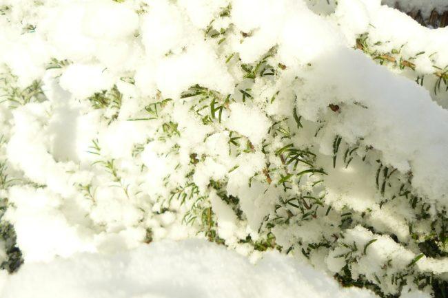 Rosmarin im schnee