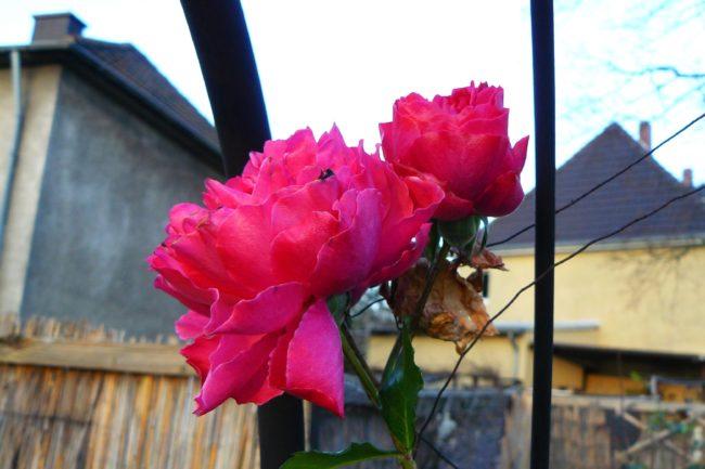 Rose Rosarium Uetersen im Januar