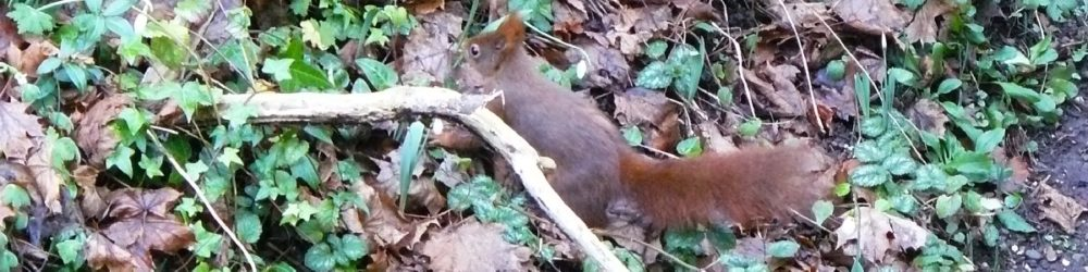 Eichhörnchen, Nüsse, Walnüsse, Haselnüsse,