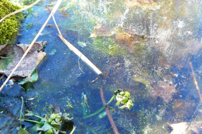 Austriebe im Teich
