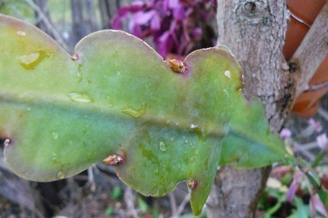 Blütenknospen am Phyllocactus