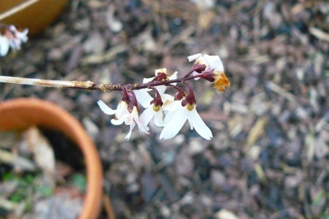 Weiße Forsythie (Abeliophyllum distichum)