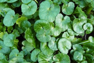 Ficaria verna, Syn.: Ranunculus ficaria L Scharbockskraut