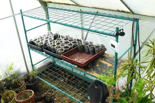 Tomatensämlinge im Gewächshaus