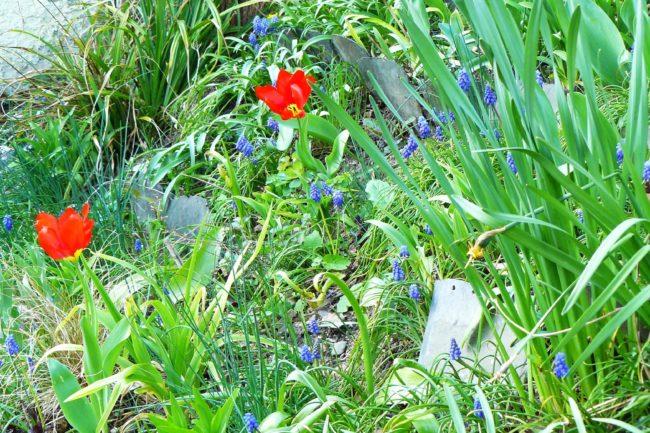Muskari und Tulpen