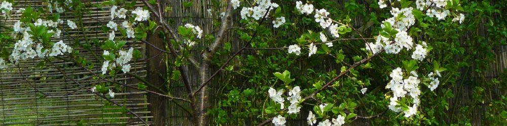 Hanami Kirschblüte
