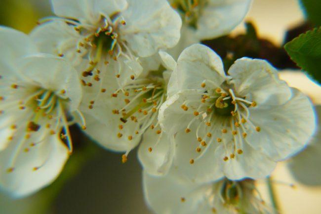 Kirschblüten Hanami