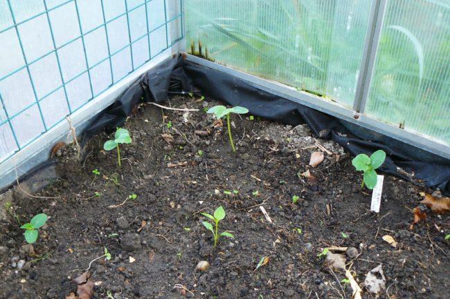Gurken und Paprika Pflanzung