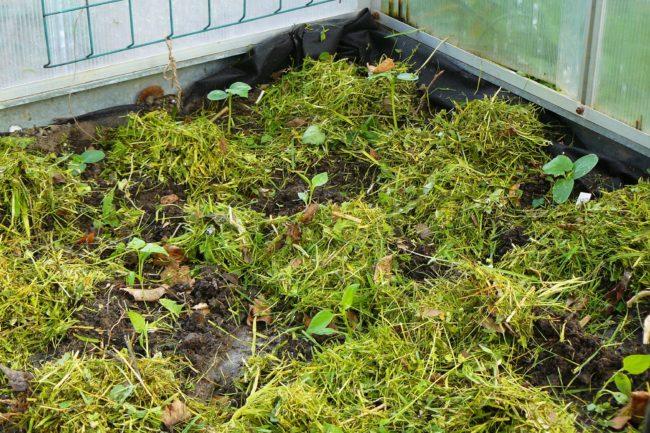 Gurken und Paprika Pflanzung Mulch