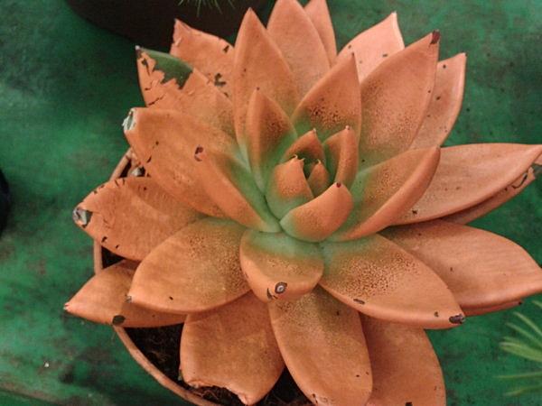 Echeveria mit Farbe