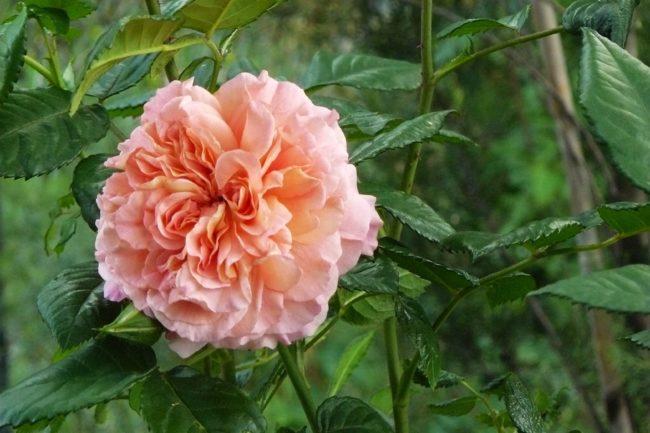 rose 'Auguste Luise'