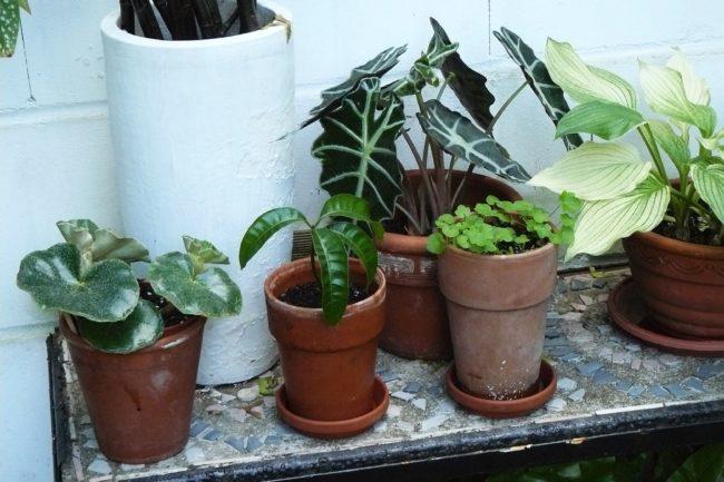 Alpkasie, Pfeilblatt, Tropenwurz, Alokasia sanderiana