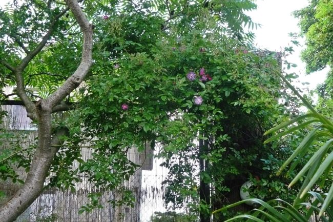Rose Rambler Veilchenblau