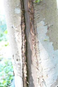 Eucalyptus gunnii Rinde löst sich