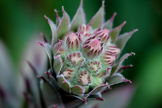 Blütenstand Sempervivum Macro