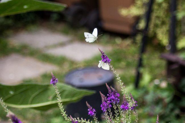 Kleiner Kohlweißling Pieris rapae