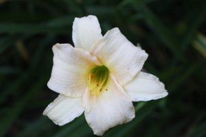 Taglilie Hemerocallis