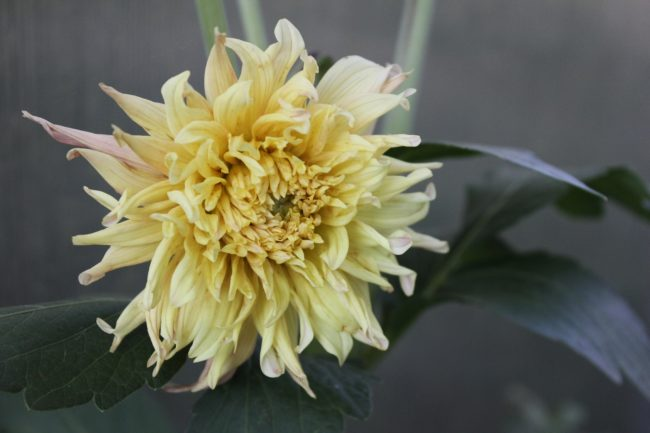 Dahlie 'Fringed Star