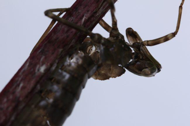 Haut der Libellenlarve