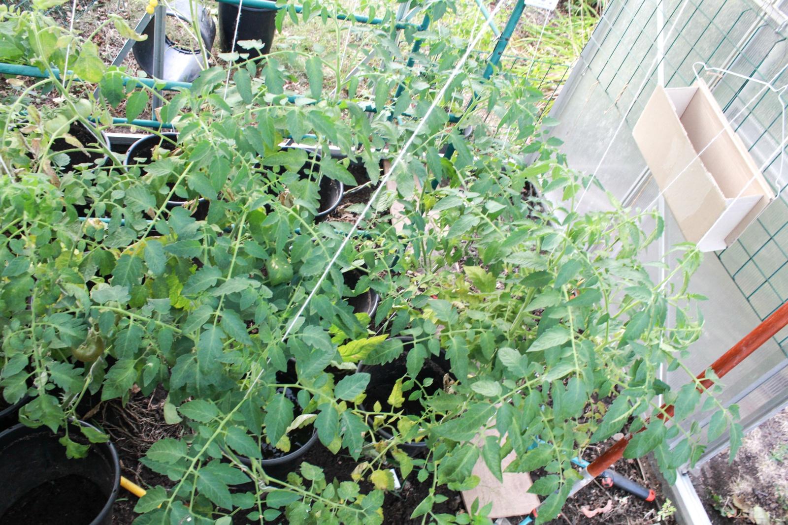 Tomaten GWH