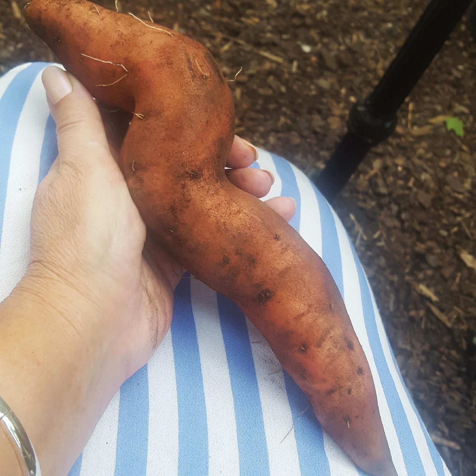Süßkartoffeln aus dem Garten.